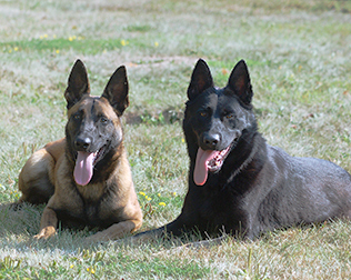 Trained Guard Dogs For Sale Texas