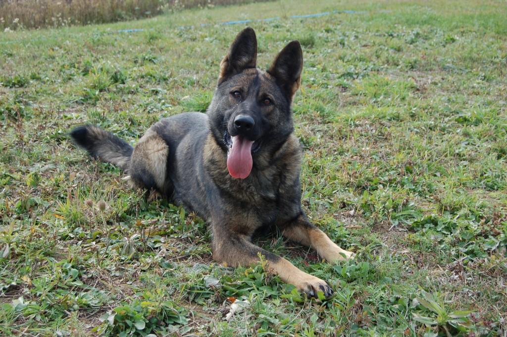 Female German Shepherd Protection Dog – Yska
