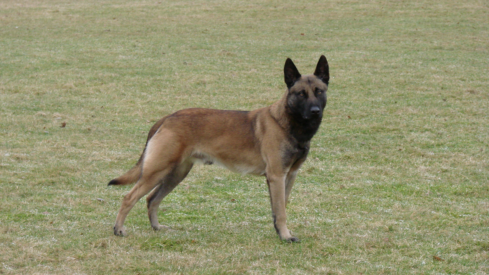 Belgian Malinois Protection Dogs For Sale