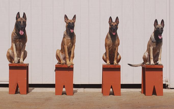 CCP-Protection-Dog-Training-Collars