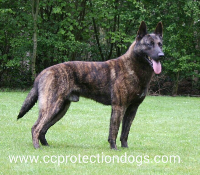 CC Protection Dogs, Dutch Shepherd