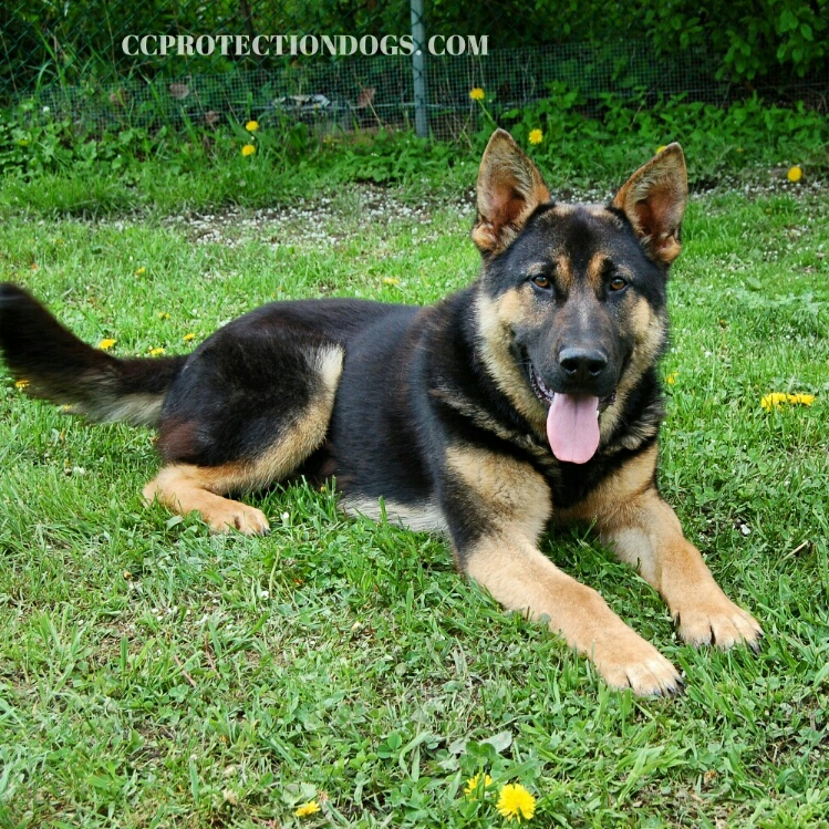German Shepherd Home Protection Dogs For Sale