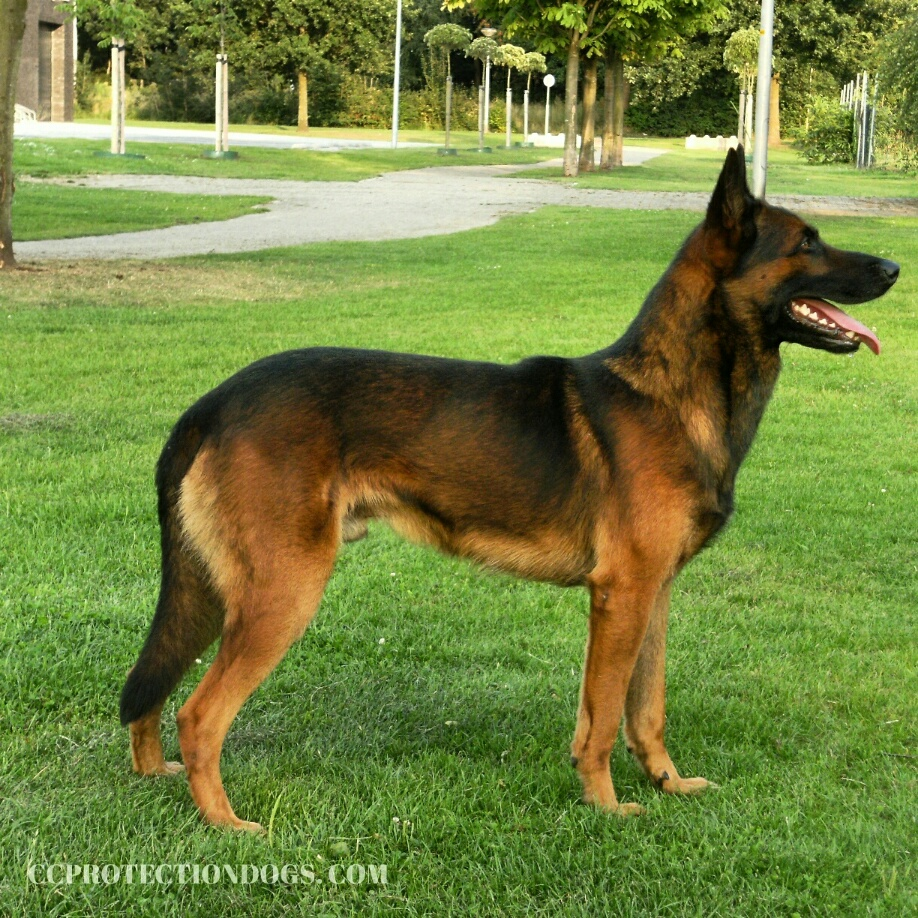 For Sale Belgian Malinois , Protection Dogs