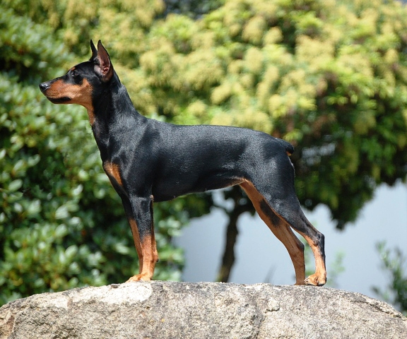 German Pinscher as a personal protection dog breed