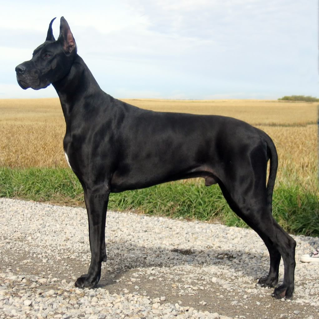 Great Dane , Protection Dogs