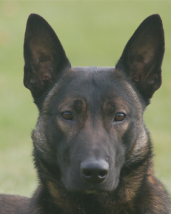 Executive Protection Dog - Badr