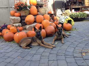 fall spirit with trained protection dogs