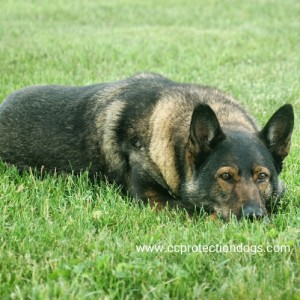 CC Protecction Dogs for sale Emma.