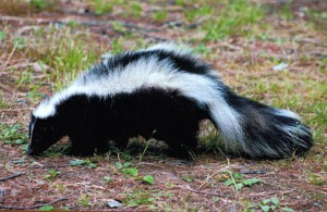 How to Get the Skunk Smell Off Your Personal Protection Dog