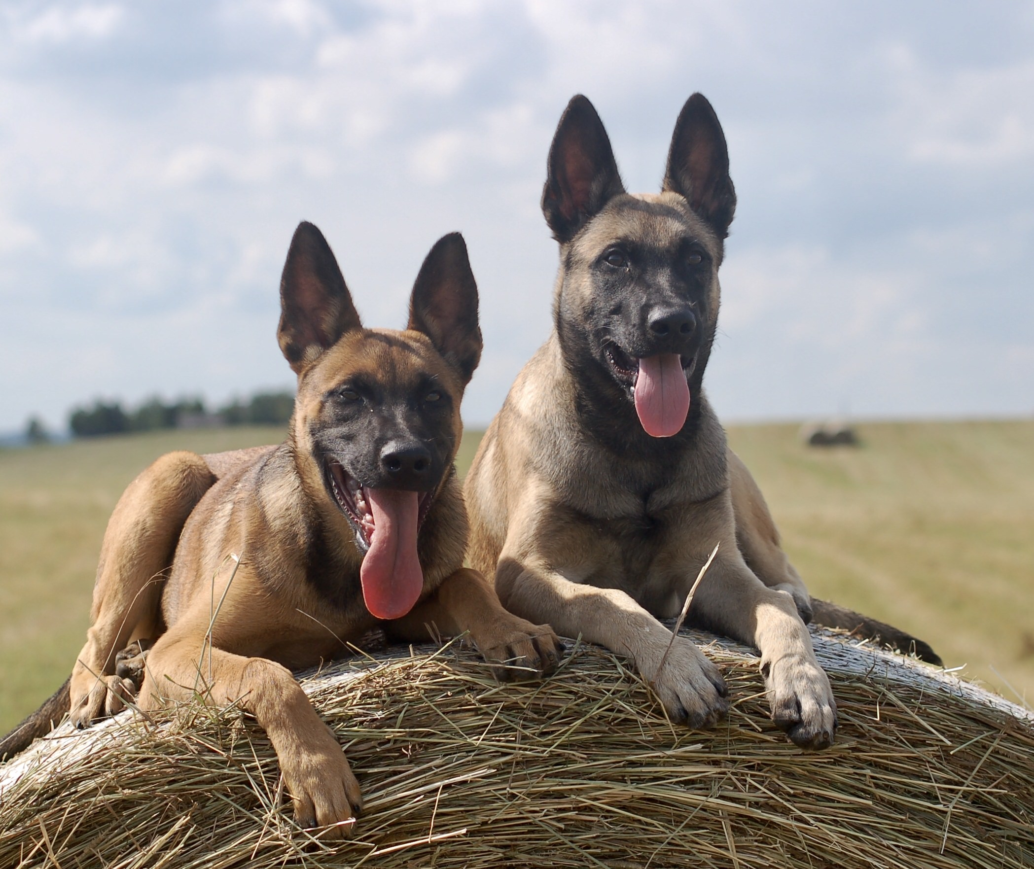 Belgian Malinois Protection Dogs