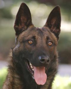 Executive Protection Dog - Barron
