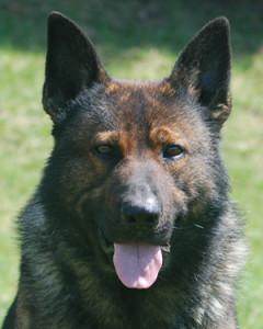 Executive Protection Dog - Como