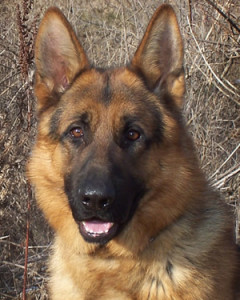 Elite Family Protection Dog - Kerr