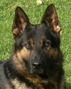 Executive Protection Dog - Konan