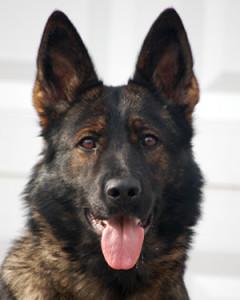 Executive Protection Dog - Pia
