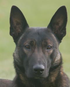 Executive Protection Dog - Badr